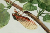 Цикл размножения цикад